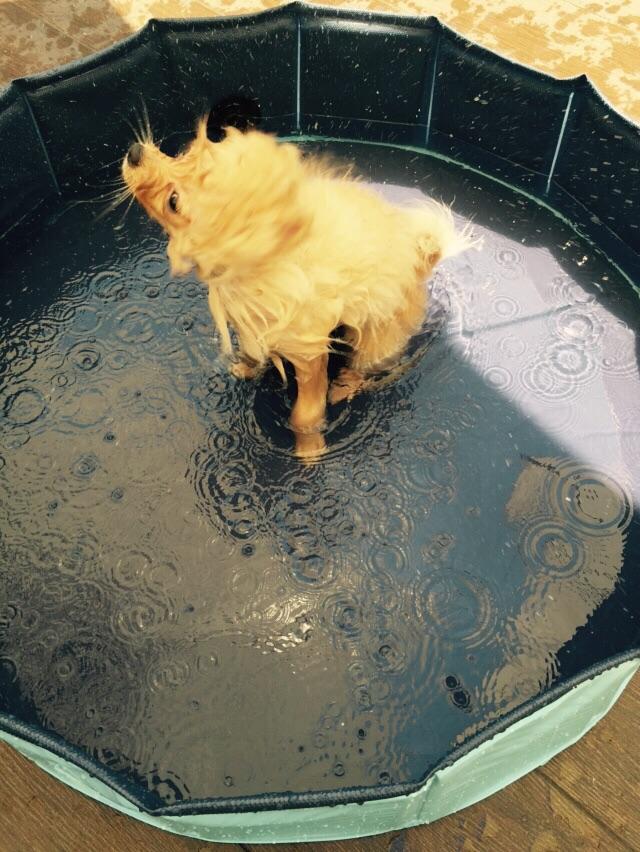 baño de pomerania en una piscina para perro
