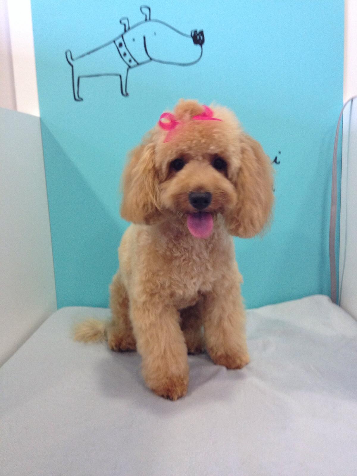 Peluqueria canina dog's affaire en alicante (8)