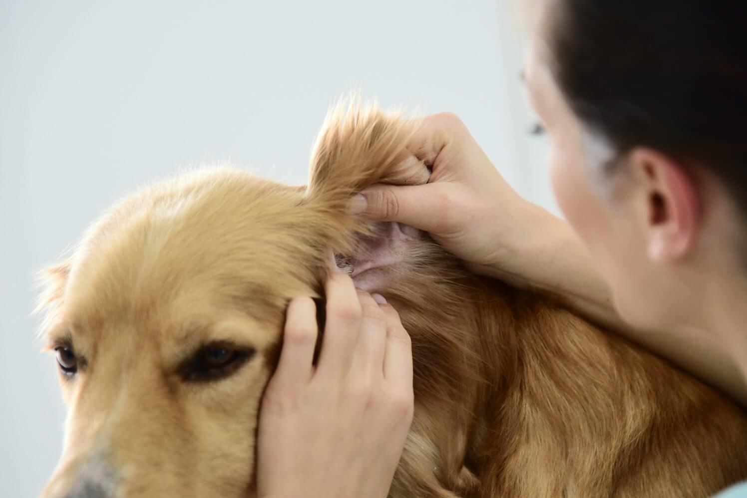 Veterinario-examinando-la-alergia-de-perro