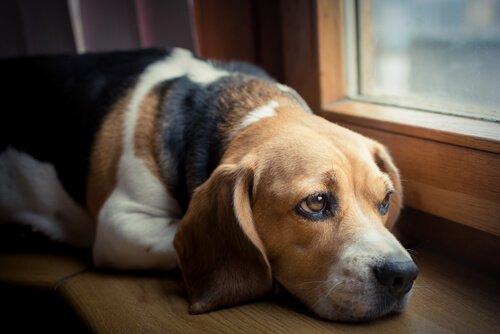 perro-expresa-el-dolor